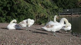 Swans Cleaning stock video footage
