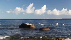 Swans  on the coast of the Baltic Sea stock video footage