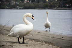 Swans on the coast Stock Image