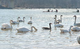Swans  on a cold river Royalty Free Stock Photo