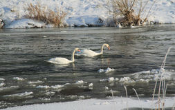 Swans in cold river Stock Image