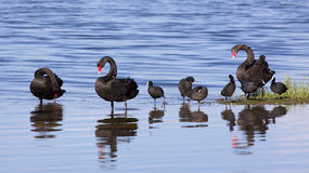 Swans and Coots Royalty Free Stock Photography