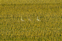 Swans in Corn Stocks Stock Images