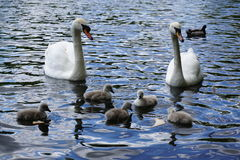 Swans couple with baby's Royalty Free Stock Photography