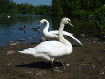 Swans Couple Royalty Free Stock Photography