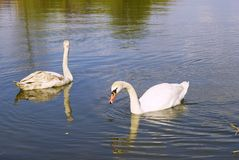 Swans in couple Royalty Free Stock Image