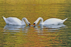 Swans couple eating together. Swans couple eating in the lake Stock Image