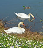 Swans couple. And male mallard Royalty Free Stock Photos