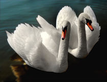 2 swans Royalty Free Stock Photo