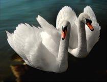 2 swans Royalty Free Stock Photo