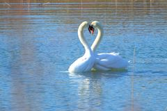 Swans in courtship on the lake. Two swans in courtship on the lake stock photo