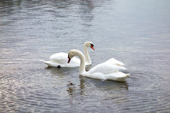 Swans Cross Necks on a Silver Lake. Two majestic swans cross necks on the shores of a beautiful lake in Switzerland stock photos