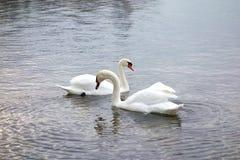Swans Cross Necks on a Silver Lake Stock Photos