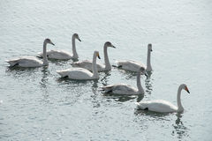 Swans. A crowd of swans on a lake stock photography