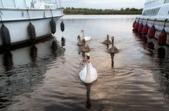 Swans between cruisers on River Shannon, Ireland Royalty Free Stock Photography