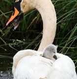 Swans. Cute swans togheter Stock Photography