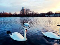 Swans cygnet romantic nature animal bird Stock Image