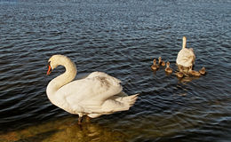 Swans with cygnets. Royalty Free Stock Photos