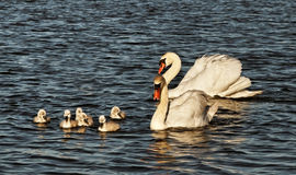 Swans with cygnets. Royalty Free Stock Images
