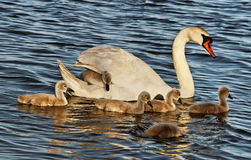 Swans with cygnets. Stock Image
