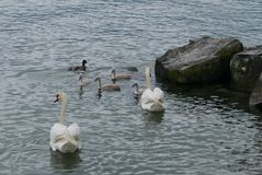 Swans and cygnets. Swans with cygnets on Lake Geneva near Clarens royalty free stock images