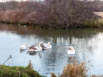 Swans cygnets lake river group feeding pack flock surface water royalty free stock photography