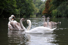 Swans and Cygnets on a River Royalty Free Stock Photo