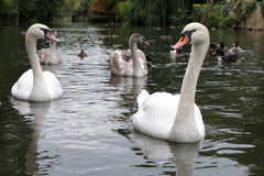 Swans and Cygnets on a River Stock Photos