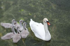 Swans and cygnets stock images