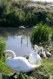 Swans and cygnets at their nesting site Royalty Free Stock Images