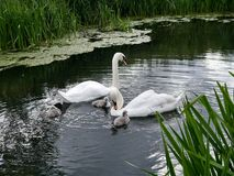 Swans and cygnets on water Stock Photo