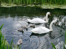 Swans and cygnets on water Stock Images