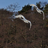 Swans Cygnus cygnus flying Stock Photo