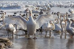 Swans on Danube River  Stock Photography