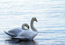 Swans at dawn at Fulford Harbour at low tide. Pair of swans resting in the water standing on the rocky shoreline at low tide at Fulford Harbour, Salt Spring Royalty Free Stock Photos