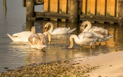 Swans day out royalty free stock images