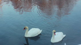 Swans dive and cleans feather. Swimming birds diving in winter lake. White swans swimming in river. Swans on blue water. Birds cleaning feather. Birds couple stock video
