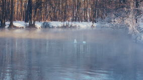 Swans dive in to forest lake in winter season. Mist over lake in winter park. Birds diving in to water. Fog over cold water. Foggy weather. Birds couple. White stock video footage