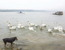 Swans and dog Royalty Free Stock Photo