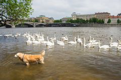 Swans and dog swiming Stock Images