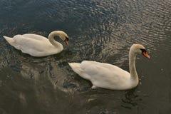 Swans in Dublin. Stock Photos