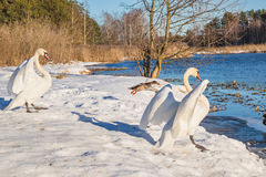 Swans and duck Royalty Free Stock Photo