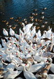 Swans and ducks. Flock, gathering in the winter season. Pisa River, Poland Stock Image