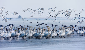 Swans and ducks. Coexistence of wild ducks and swans Stock Photos