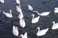 Swans and ducks Royalty Free Stock Image