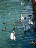 Swans and ducks. Different species of birds together at Annecy Lake Royalty Free Stock Photos