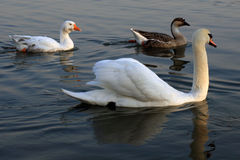 Swans ducks. Beautiful birds on the water royalty free stock images
