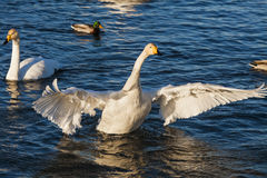 Swans and ducks Royalty Free Stock Photography