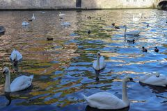 Swans and Ducks in Bruges stock photos