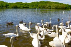 Swans and ducks feeding time stock photos